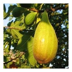 Fico Portoghese (Ficus Carica)