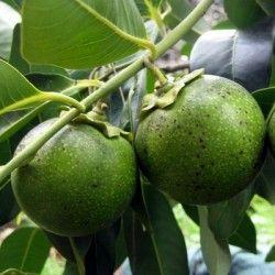 Black sapote (Diospyros digyna)