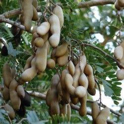 Tamarindo (Tamarindus indica)