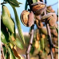 Mandorlo Guscio Tenero (Prunus Dulcis)