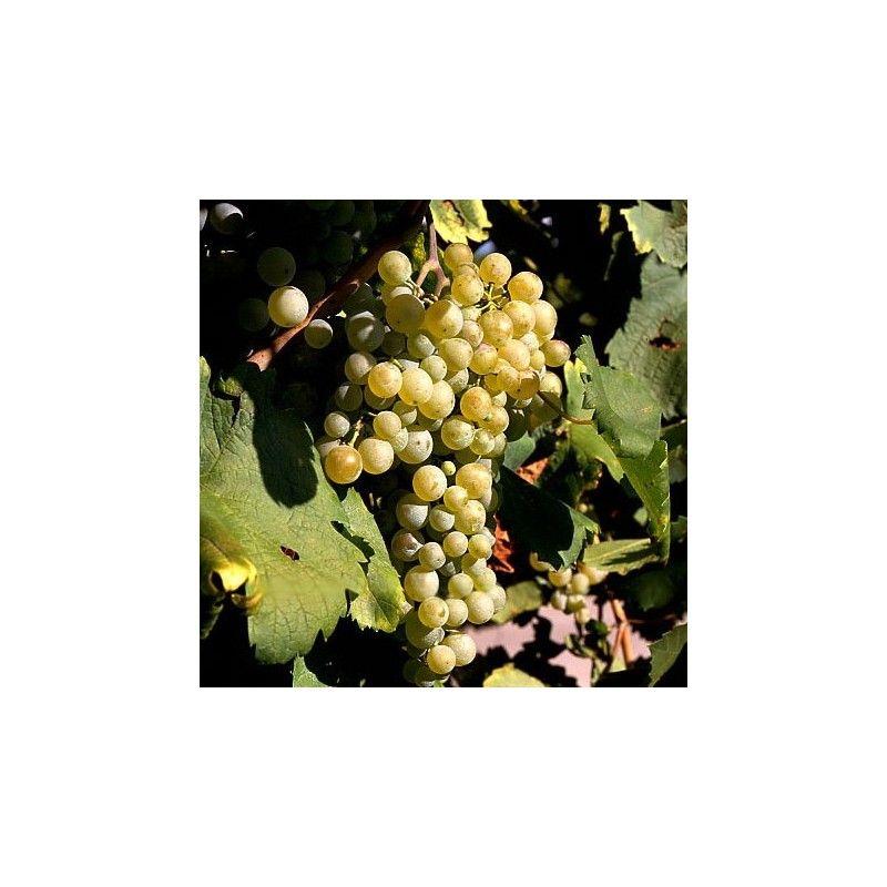 Vite da vino Prosecco
