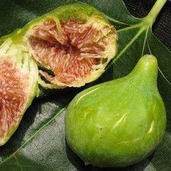 Fico Dottato (Ficus Carica)