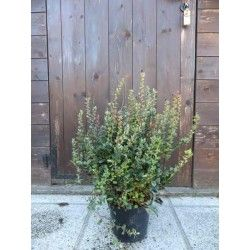 Calafate (Berberis buxifolia)