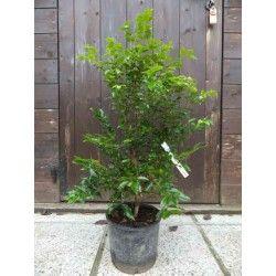 Jabuticaba (Myrciaria cauliflora)