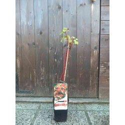 Uva del Giappone (Rubus phoenicolasius)