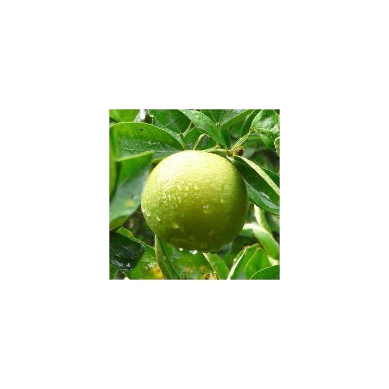 Mapo (Citrus x tangelo)
