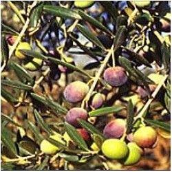Olivo Termite di Bitetto