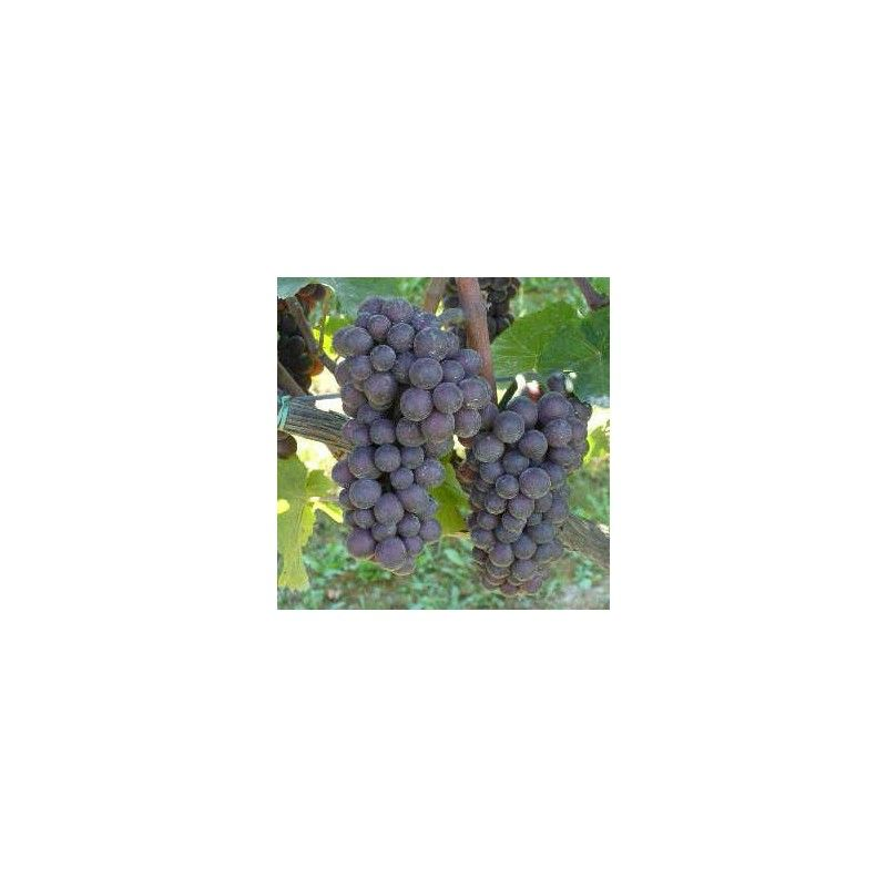 Vite da vino Pinot grigio