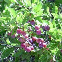 Susino del mare (Prunus maritima)