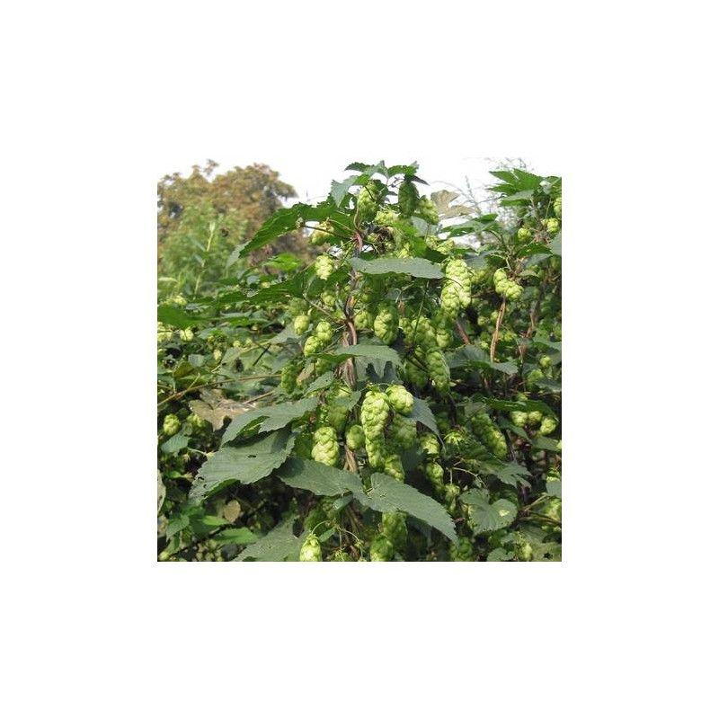 Luppolo (Humulus lupulus)