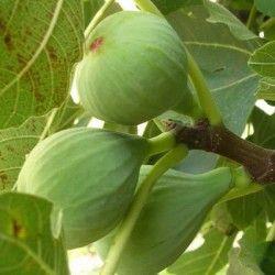 Fico Filacciano (Ficus Carica)