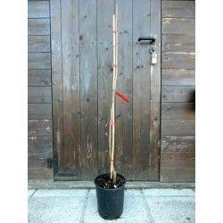 Noce Pecan (Carya illinoensis)
