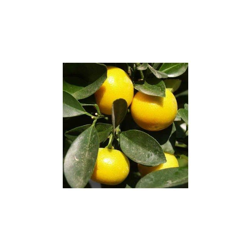 Calamondino (Citrus mitis)