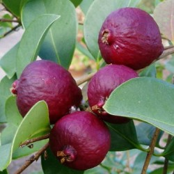 Guava fragola (Psidium cattleianum)