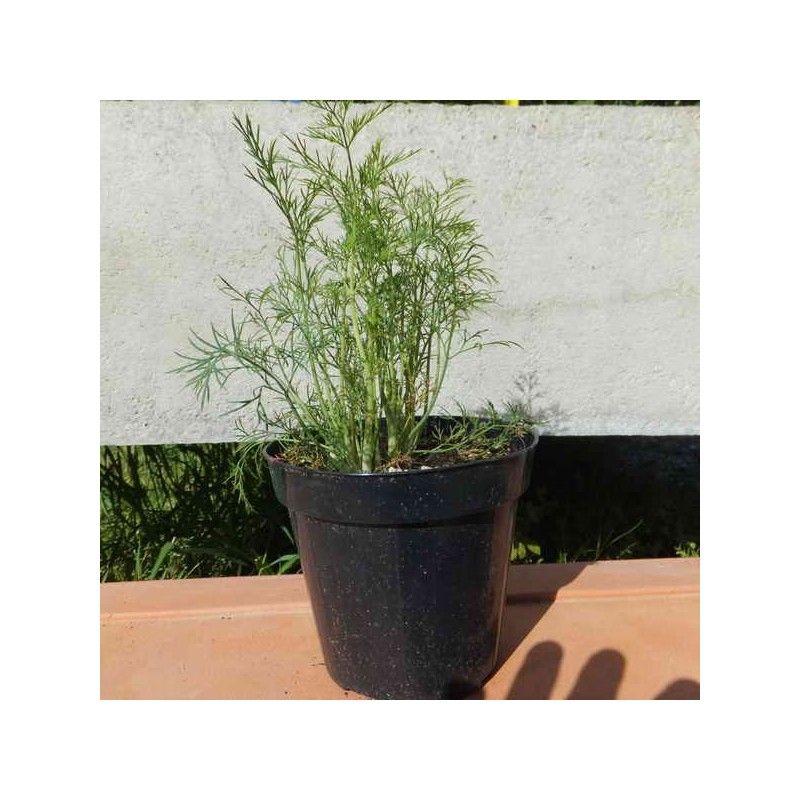 Aneto (Anethum graveolens)