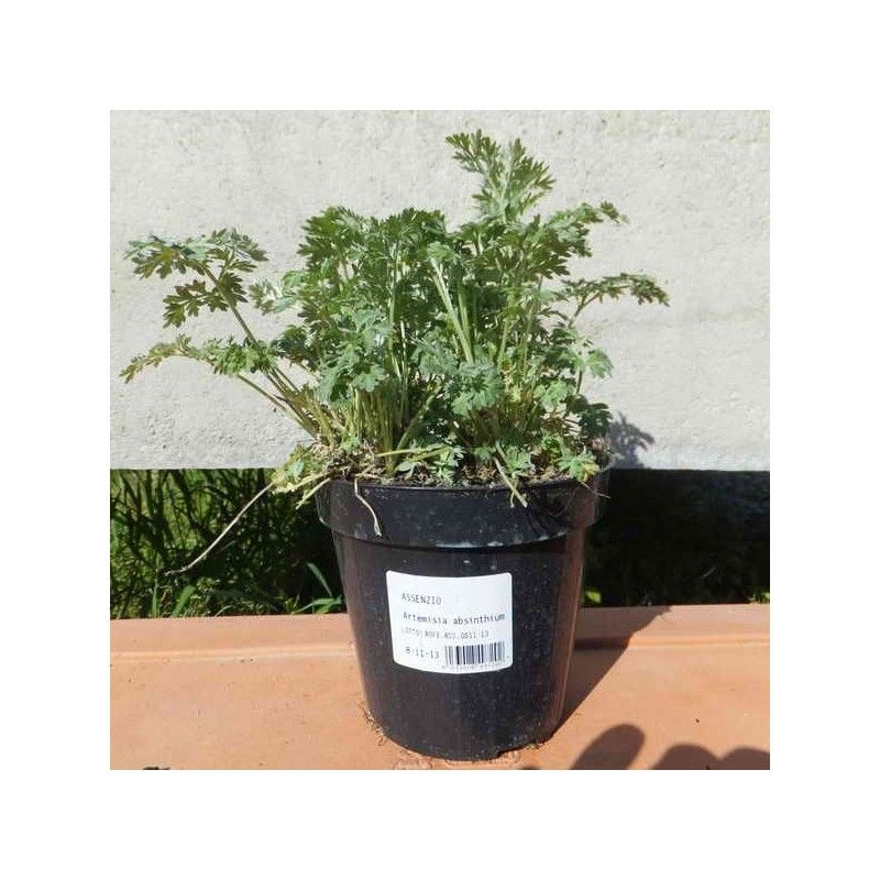 Assenzio (Artemisia absinthium)