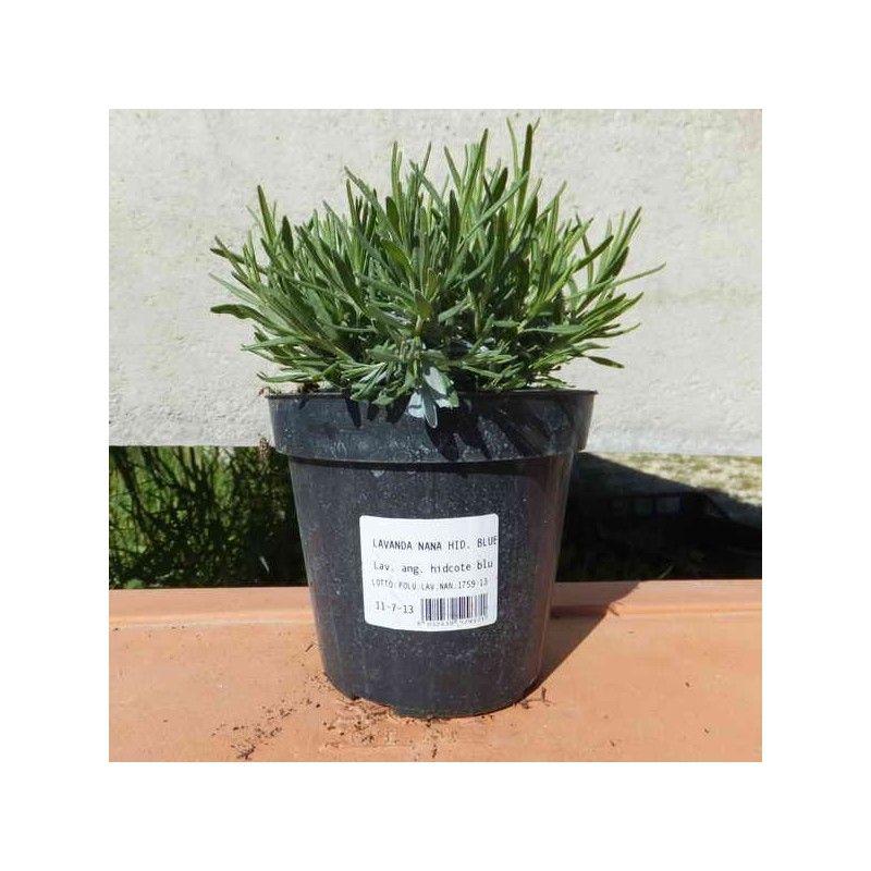 "Lavanda ""Hidcote blue"" (Lavandula angustifolia ""Hidcote blu"")"
