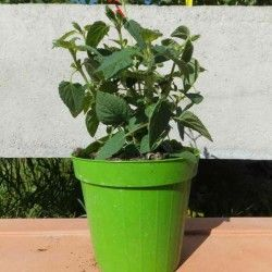 "Salvia melone (Salvia Elegans ""Honey Melon"")"