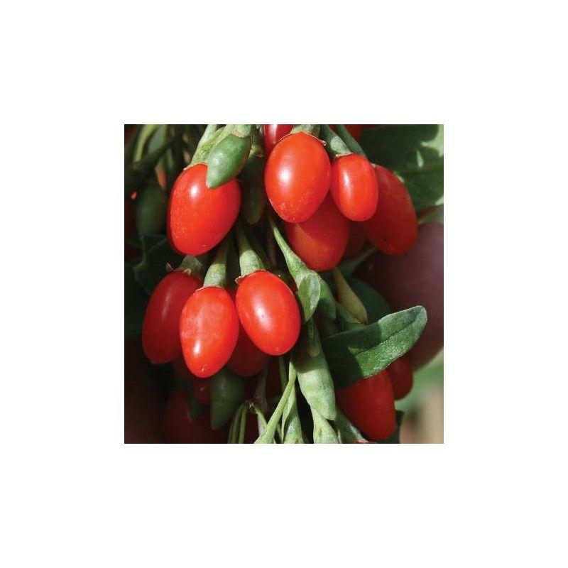 "Goji ""Big Lifeberry"" (Lycium barbarum)"