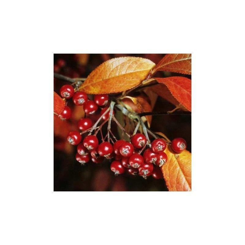 """Aronia arbutifolia """"Brilliant"""""""