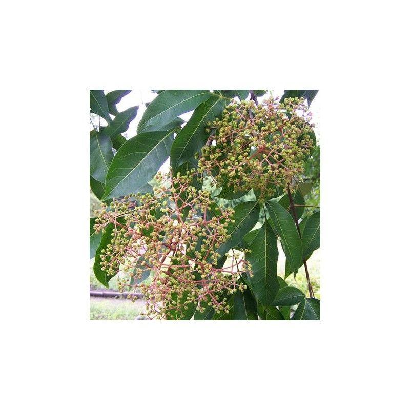 Pianta del miele (Evodia tetradium danielli)