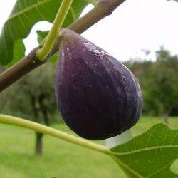 Fico Turca (Ficus Carica)