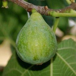 Fico Fiorone (Ficus Carica)