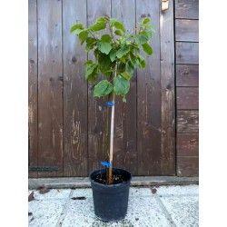 Albero dell'uva passa (Hovenia Dulcis)