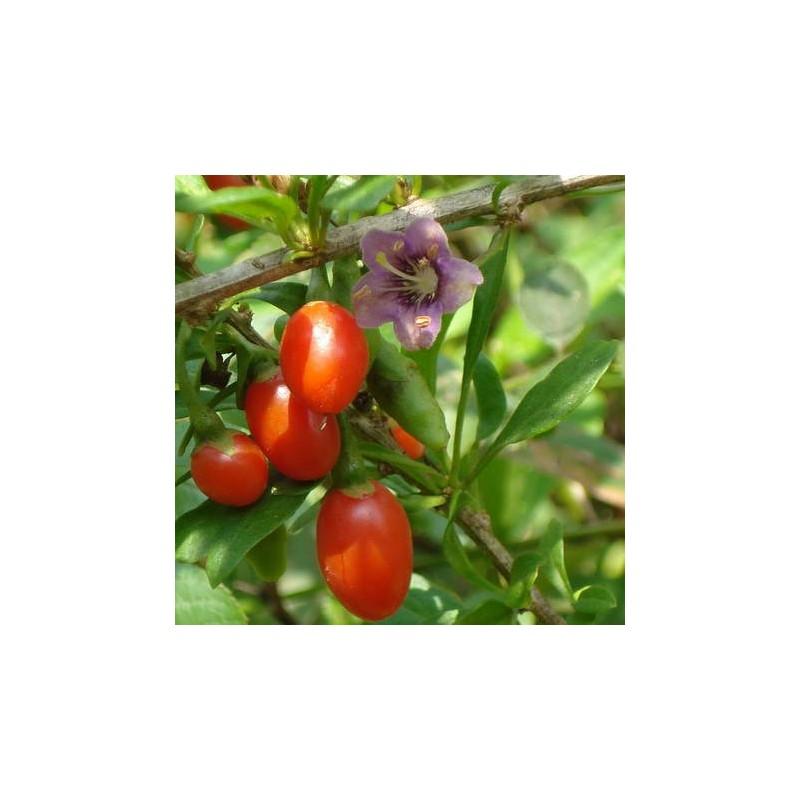 Goji (Lycium chinense)