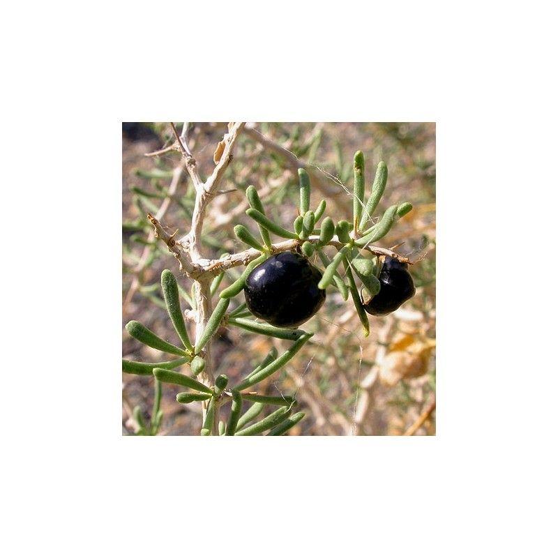 """Goji nero """"Lycium Ruthenicum"""""""