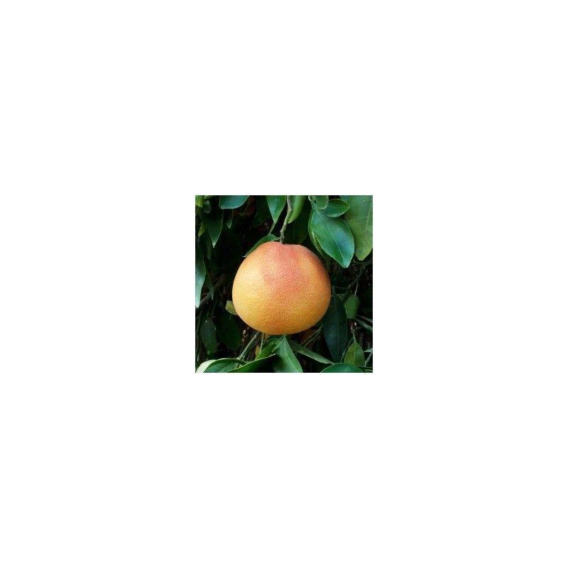 Pompelmo rosa (Citrus Paradisi)