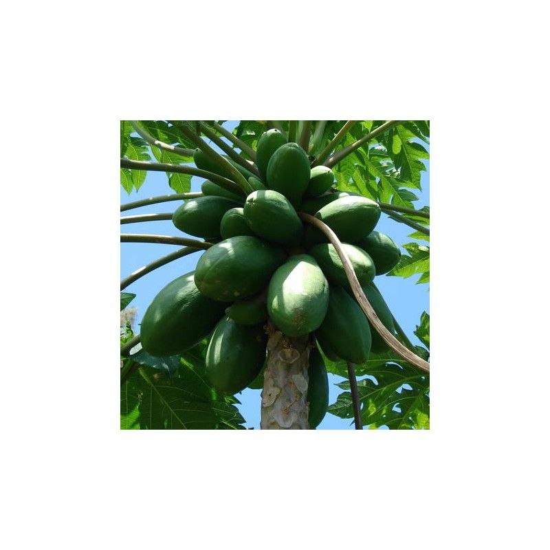 Papaya (Carica papaya)