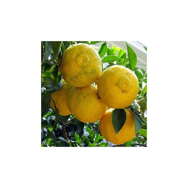 Yuzu (Citrus ichangensis × Citrus reticulata)