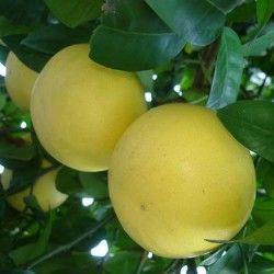 Orangelo pummelo rosa (Citrus chjronia)
