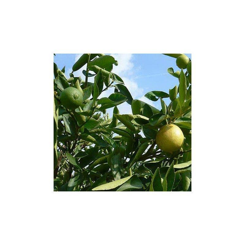 Limoncello di Napoli (Citrus aurantifolia)