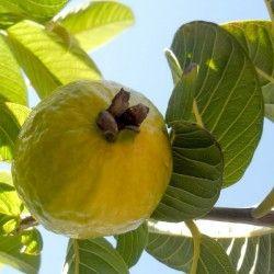 Guava limone (Psidium guajava)