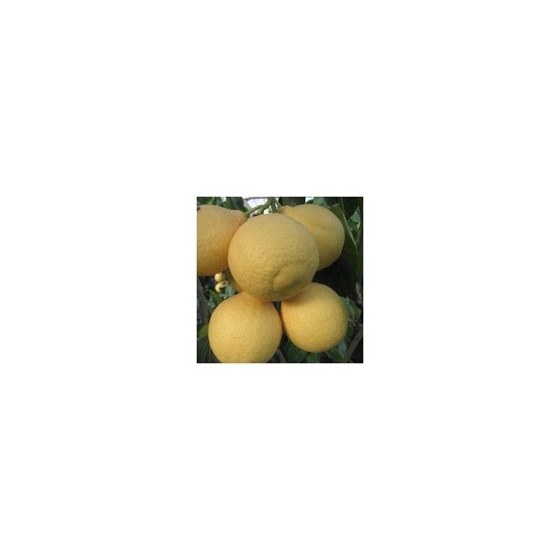 Lumia pomo d'Adamo (Citrus lumia)