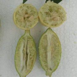 Limone caviale verde (Microcitrus australasica)