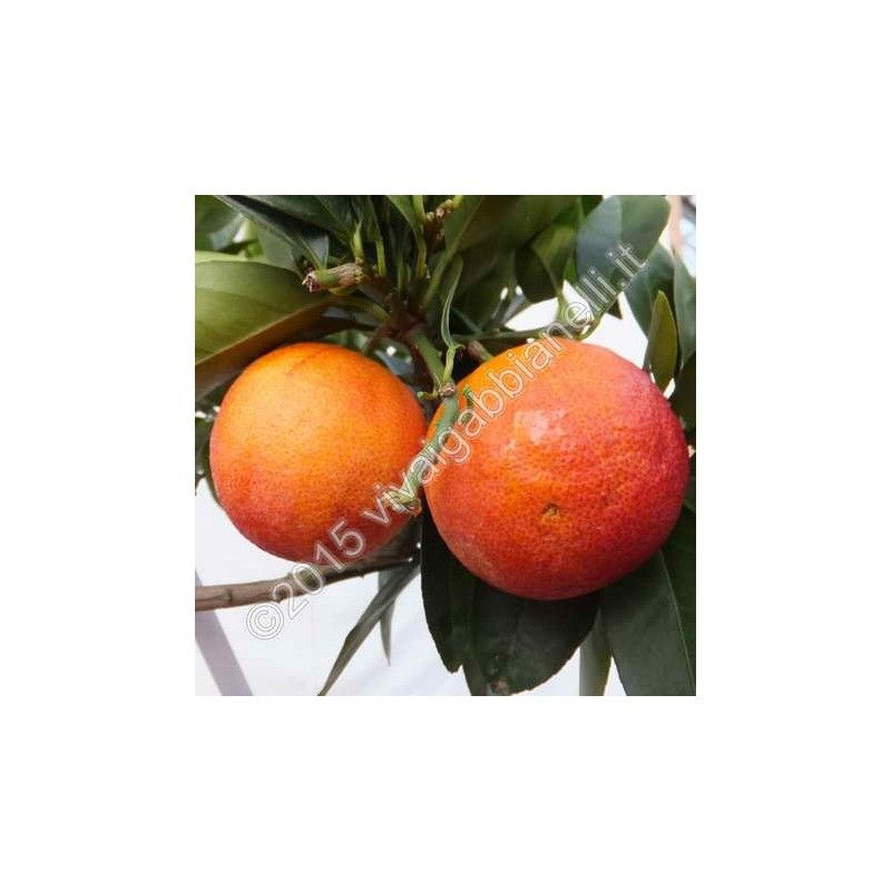 "Arancio ""Moro"" (Citrus Sinensis)"