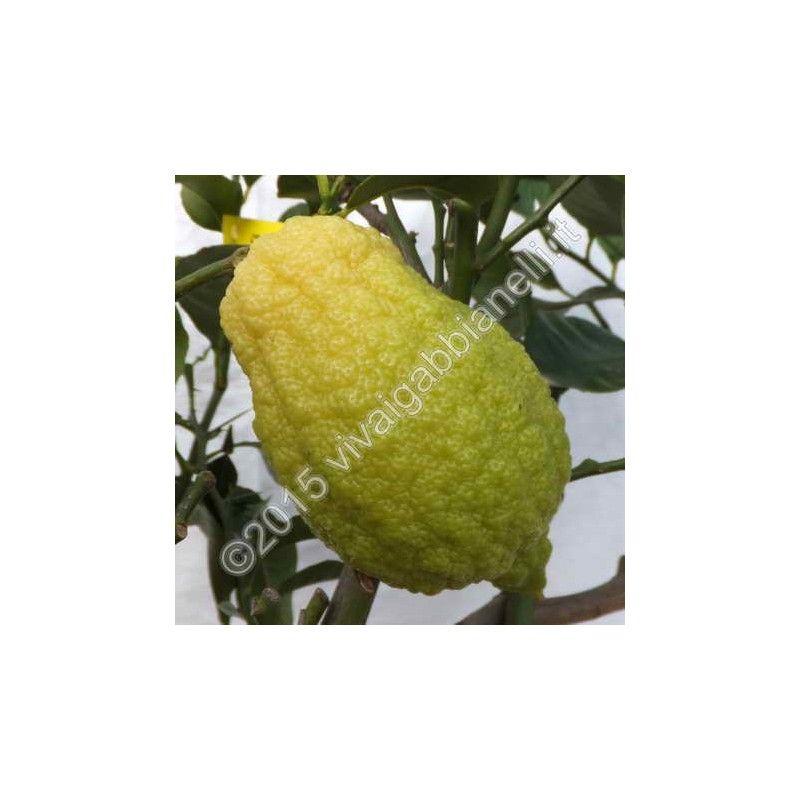 """Cedro """"Piretto"""" (Citrus Medica)"""