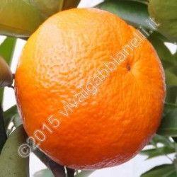 "Clementine ""Nova"" (Ibrido Mandarino-Arancio)"