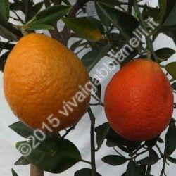 Kucle (Fortunella margarita x Citrus reticulata)