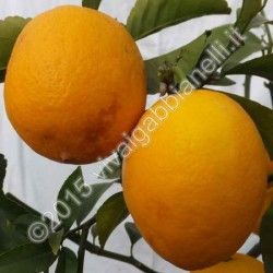 Limone Meyer (Citrus meyeri)