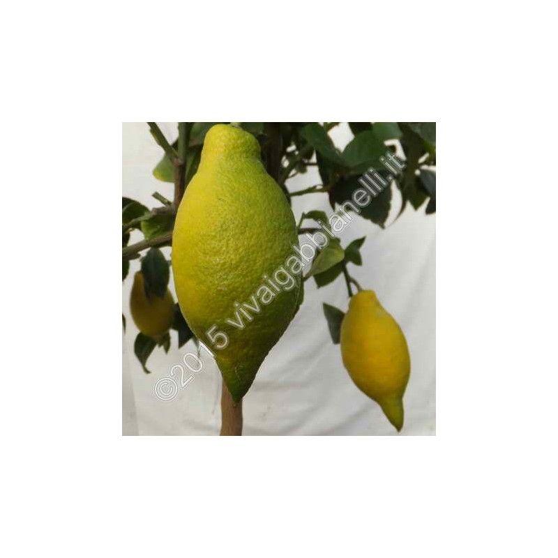 """Limone lunario """"Quattro stagioni"""""""