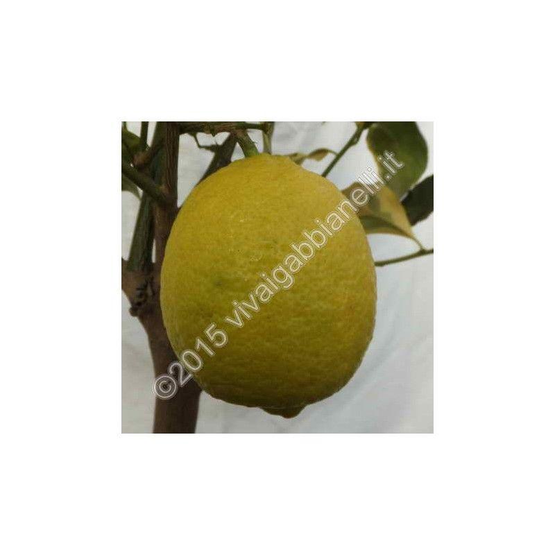 "Limone a foglia variegata gialla (Citrus limon ""Foliis variegatis"")"