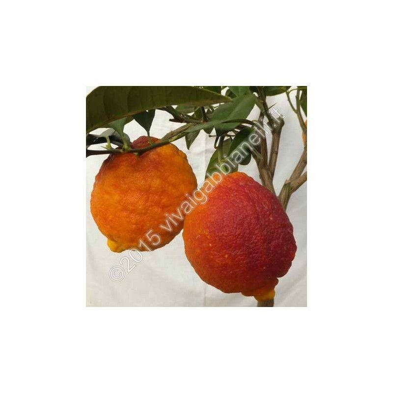 Limone Rosso (Citrus limonimedica pigmentata)