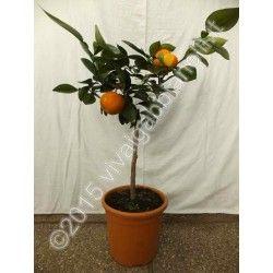 """Arancio Fasciata (Citrus aurantium """"fasciata"""")"""