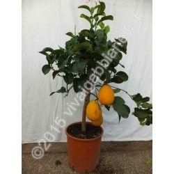 Cedro (Citrus Medica)