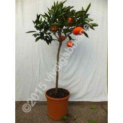 Clementine Nova (Ibrido Mandarino-Arancio)
