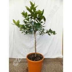 Lime o Limetta di Tahiti (Citrus latifolia)
